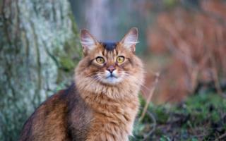 Сомалийская кошка на природе