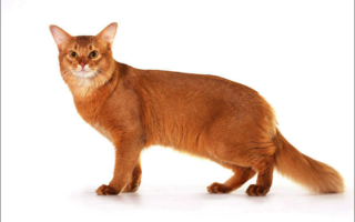 Сомалийская кошка на белом фоне