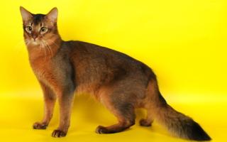Сомалийская кошка на желтом фоне