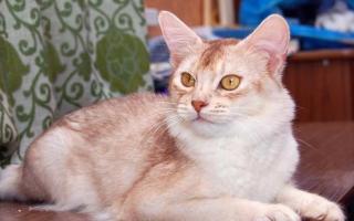 Сомалийская кошка светлый дикий окрса