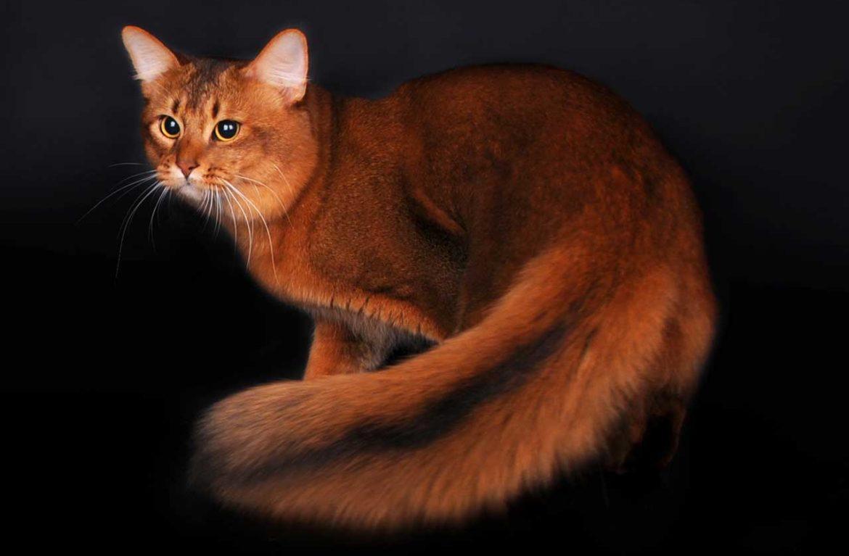 Сомалийская кошка темный соррель