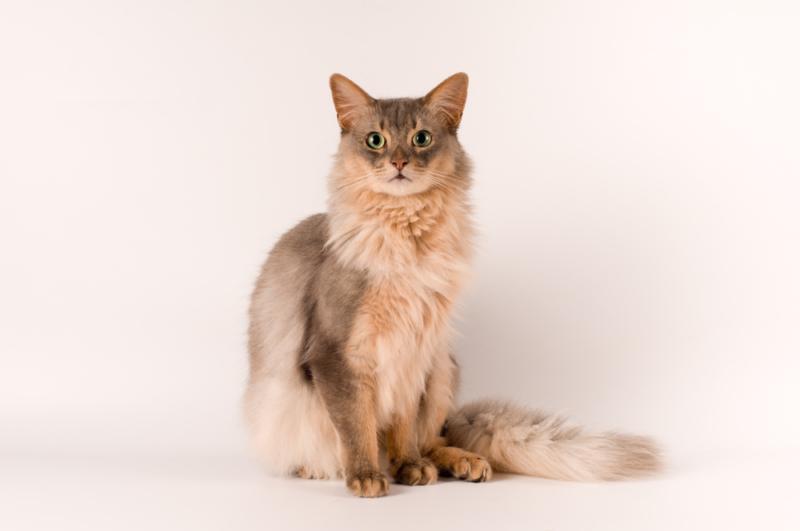 Сомалийская кошка с белой мордочкой