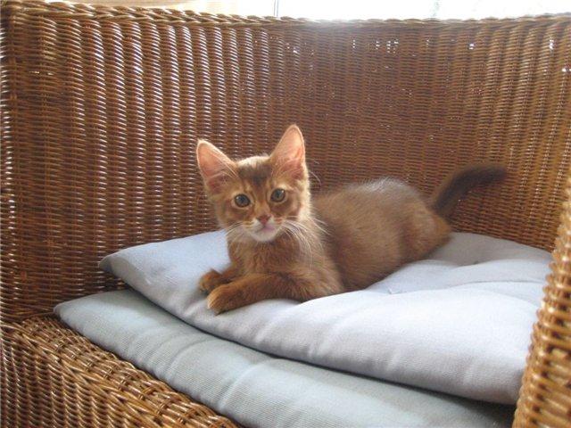 Котенок сомали в плетенной корзине