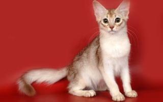Свтлая Сомалийская кошка на красном фоне
