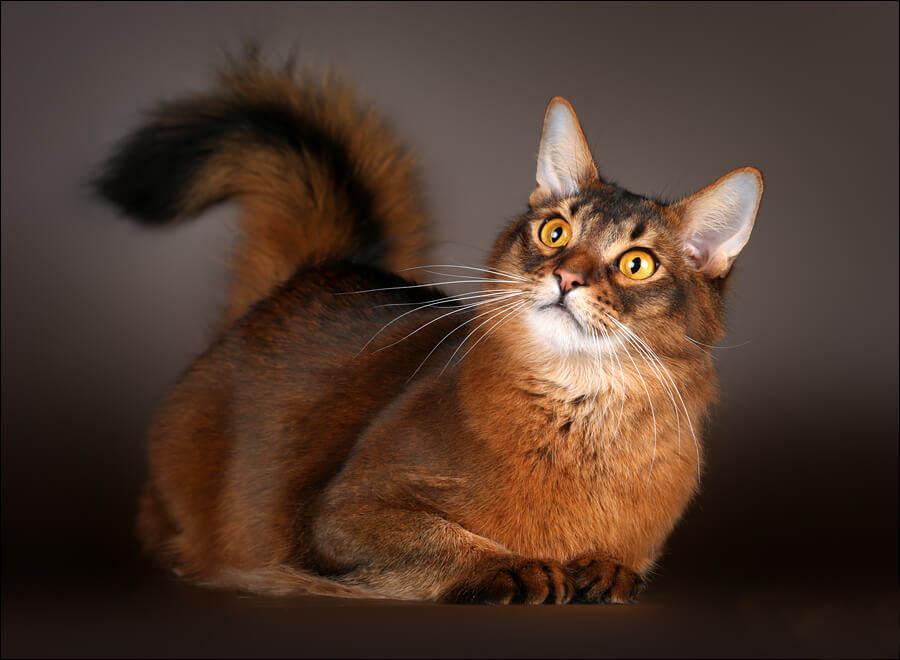 Сомалийская кошка окрас дикий