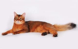 Сомалийская кошка соррель с желтыми глазами