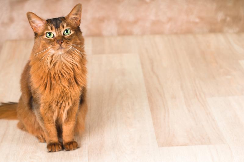 Сомалийская кошка в квартире