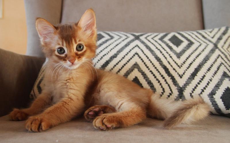Маленький сомалийский котенок