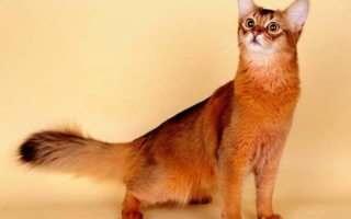 Сомалийская кошка красная