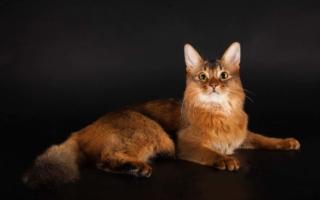 Сомалийская кошка на черном фоне