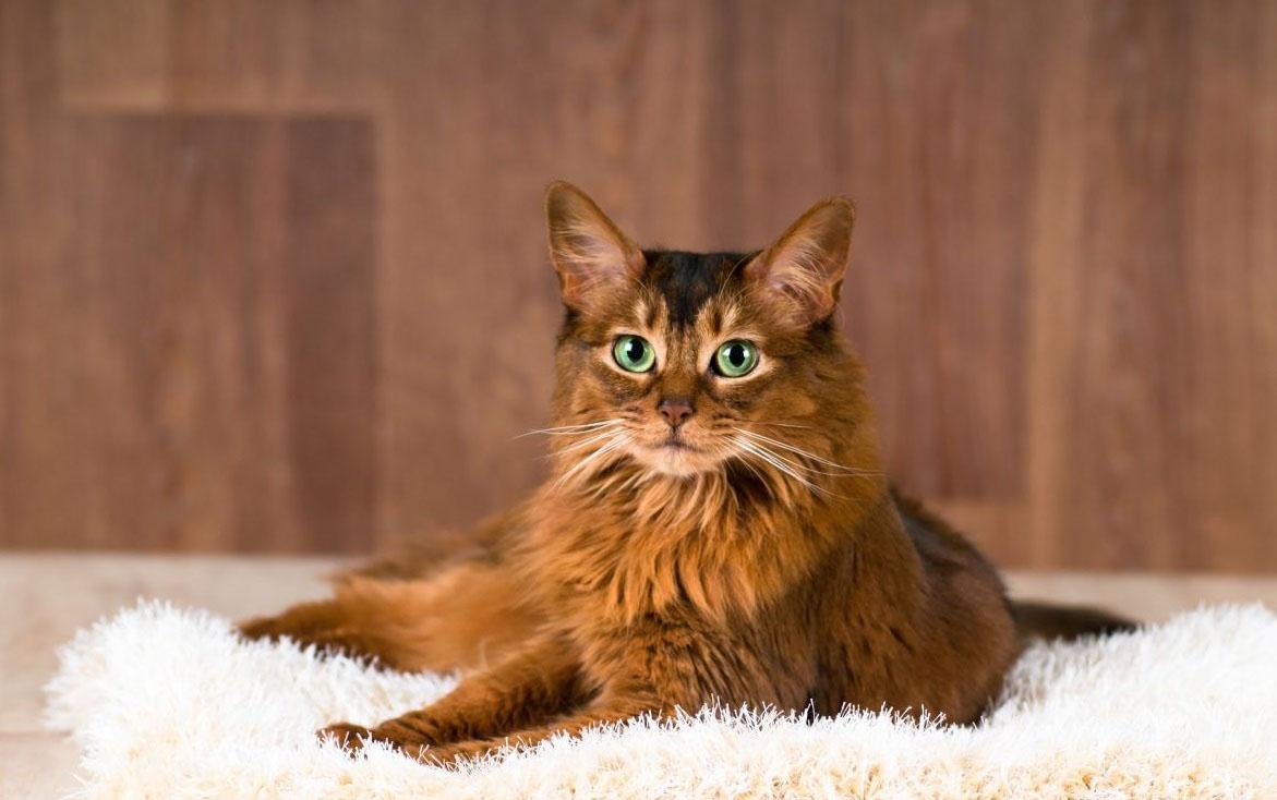 Сомалийская кошка с зелеными глазами