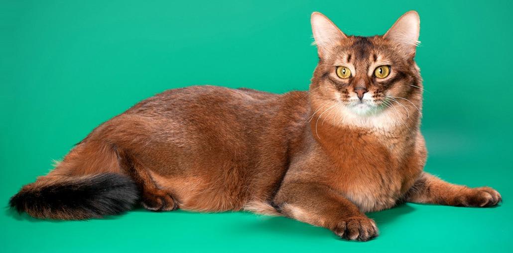 Сомалийская кошка на зеленом фоне