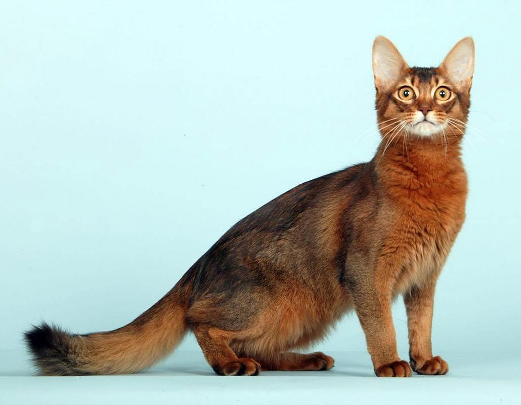 Сомалийская кошка на голубом фоне