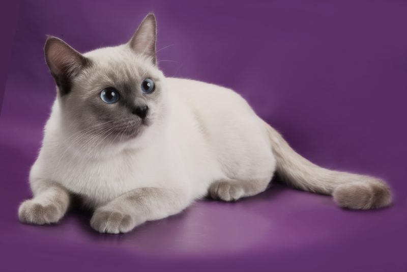 Тайская порода кошек недостатки thumbnail