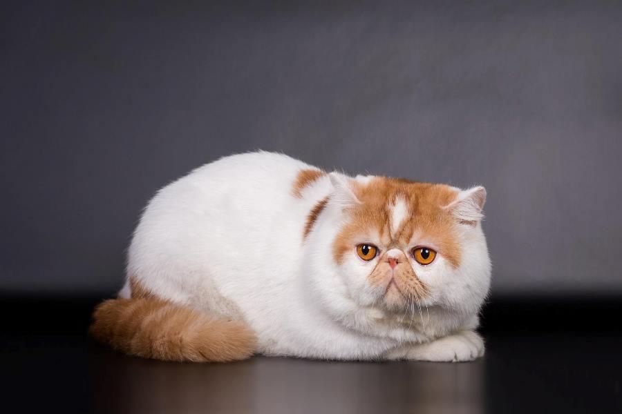 экзотическая кошка бело-рыжая
