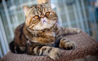 экзотическая кошка окрас табби