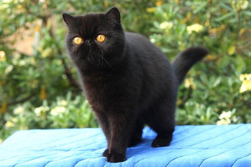 черная экзотическая кошка