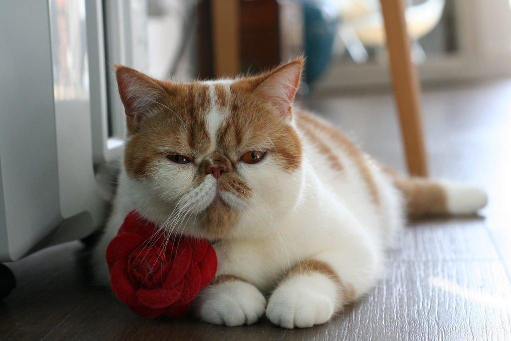 экзотическая кошка с бело-рыжими пятнами