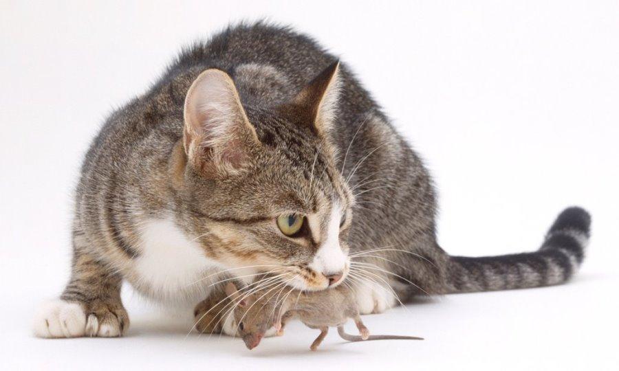 Получение таурина из диких мышей