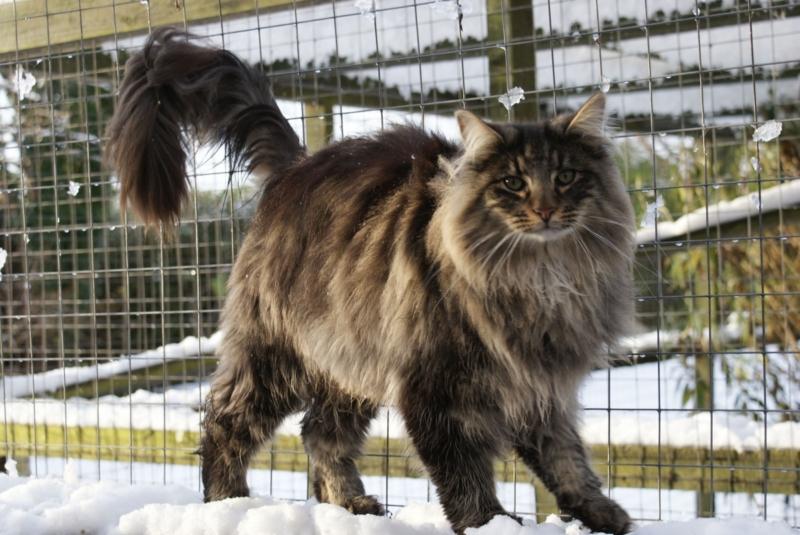 Черная норвежская лесная порода кошек thumbnail