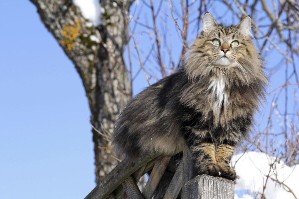 Черная норвежская лесная порода кошек