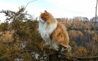 Норвежская лесная кошка - северная красавица в шикарной шубе