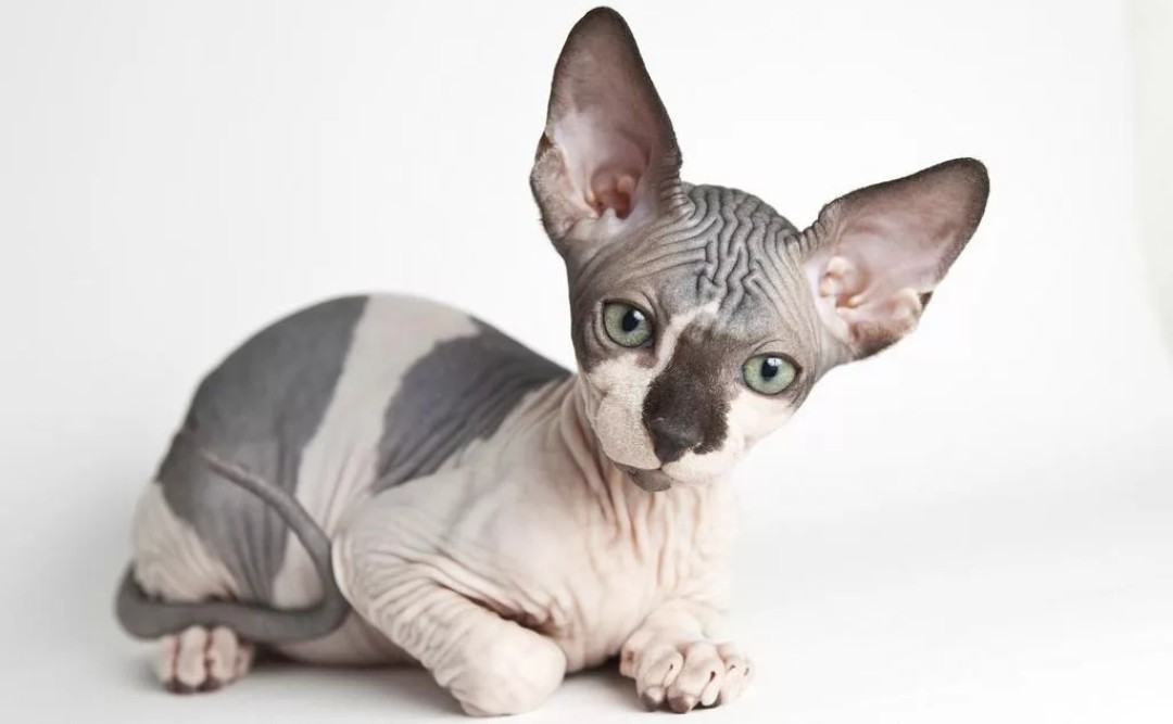 Канадский Сфинкс или Лунная кошка