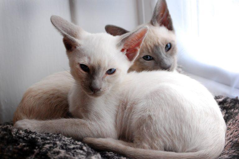 Котята балинезийской породы