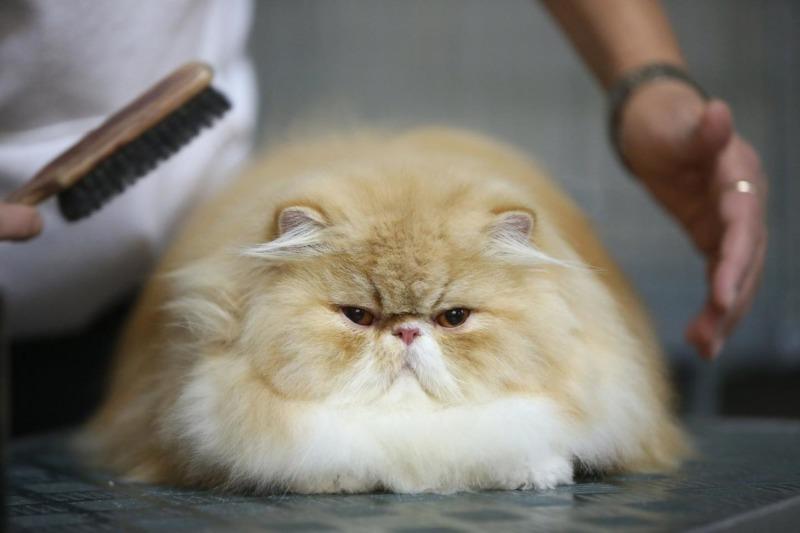 Кошки породы классические персы