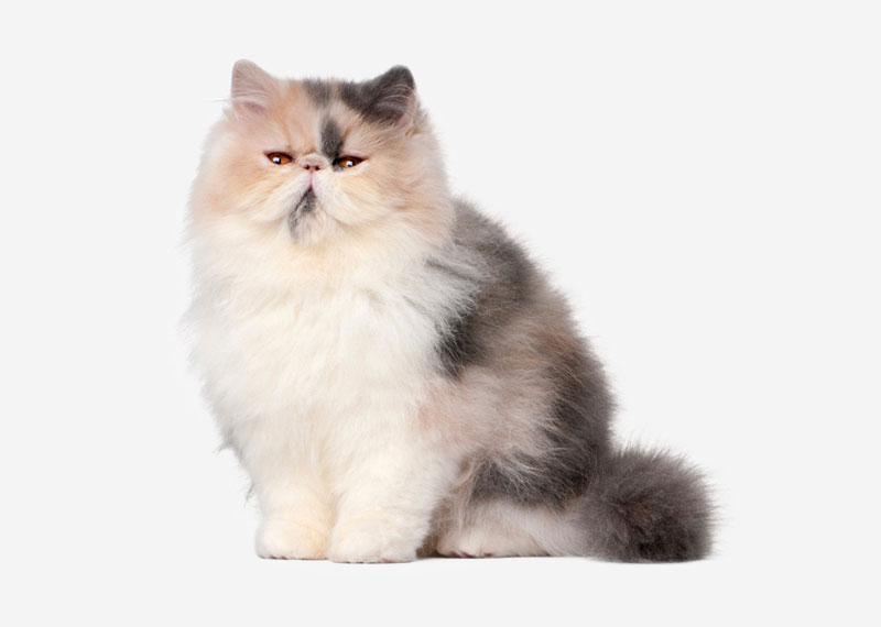 Кошки породы классические персы thumbnail